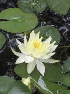 lotusbyjennielee